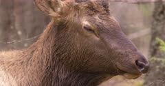 4K Elk Buck chewing while resting on forest, through trees, tight Shot - SLOG2 Not Colour Corrected