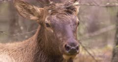 4K Elk Buck chewing while resting on forest, through trees, tight Shot, Tilt when elk looks up - SLOG2 Not Colour Corrected