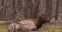 4K Elk Buck chewing while resting on forest, through trees, wide Shot - SLOG2 Not Colour Corrected