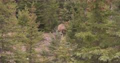 4K Elk Buck in trees - SLOG2 Not Colour Corrected