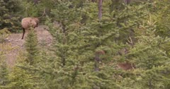 4K Elk Buck in trees licking lips & watching other Buck - SLOG2 Not Colour Corrected