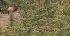 4K Elk Buck in trees calling females & watching other Buck - SLOG2 Not Colour Corrected
