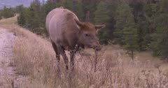 4K Elk female young cow grazing along top of hillside, steam from breathe in morning air, rack focus to 2nd cow, zoom in - Slow Motion - SLOG2