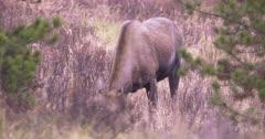 Moose female grazing on dry, dead grass, female calf joins, Slow Motion - SLOG2