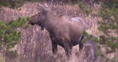 Moose female watching protectively calf grazing on dry, dead grass exits frame - SLOG2