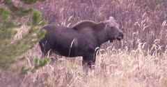 Moose mother watching for predators, grazing on dry, dead pan to calf and back - SLOG2