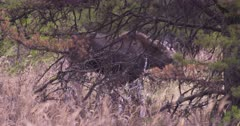 Moose calf grazing on dry, dead grass behind tree - exits frame - SLOG2