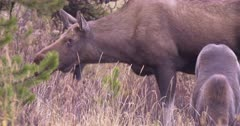 Moose mother and calf grazing on dry, dead grass - SLOG2