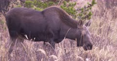 Moose Calf grazing in the meadow grazing, pan on tight frame - SLOG2