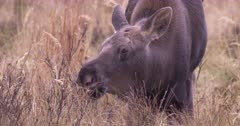 Moose Calf grazing in the meadow grazing, pan on tight frame, Slow Motion - SLOG2