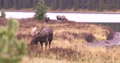 4K Moose mother and female eating in meadow by lake. Alpha bull moose in foreground pan to 2nd bull moose grazing - SLOG2