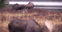 4K Moose Alpha bull grazing rack focus to sow and young female behind - SLOG2