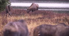 4K Moose Sow and young female rack focus to two males bulls in the fore ground by lake - SLOG2