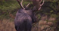 4K Moose bull hiding amongst trees watching carefully, rotating ears listening - Tighter Frame - SLOG2