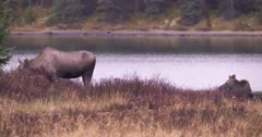 4K Moose Sow grazing and young female lying down eating by lake - Slow Motion - SLOG2