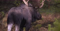 4K Moose Bull hiding amongst trees watching carefully, walk away, exits frame -  Slow Motion - SLOG2