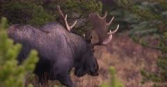 4K Moose Bull walks amongst trees watching carefully -  Slow Motion - SLOG2