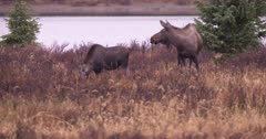 4K Moose Bull watching Sow and young female in grassy meadow by lake, pan - SLOG2