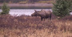 4K Moose Sow raises head pan to Young Female grazing pan to Bull Moose watching, grassy meadow by lake - SLOG2