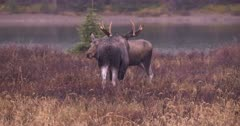 Moose Bull grazing in meadow with Cow and calf, Pick up scent pan between them - SLOG2