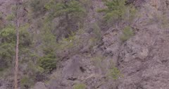 4K Mountain Goat lying down on step rock face, pan to 2nd one lying down - SLOG2