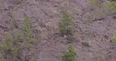 4K Mountain Goat lying down on step rock face under evergreen tree - SLOG2