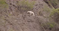 4K Mountain Goat walking along step rock face - SLOG2