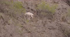 4K Mountain Goat walking along step rock face, then lies down - SLOG2