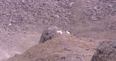 4K Mountain Goats three perched on stone edge up in alpine, extreme long lens - SLOG2 Not Colour Corrected