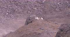 4K Mountain Goats three perched on stone edge up in alpine, extreme long lens - SLOG2