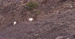 4K Mountain Goats two walking along steep rocky mountain side eating - SLOG2 Not Colour Corrected