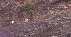 4K Mountain Goat two grazing on rocky hill side, pan to third - SLOG2