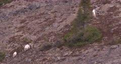4K Mountain Goat three grazing in alpine on rocky hill side - SLOG2