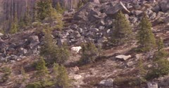 4K Mountain Goat three grazing in alpine against rocky embankment, side climbing up - SLOG2