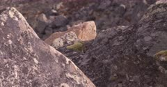 4K Pika up in Alpine hiding in rocks in alpine - SLOG2