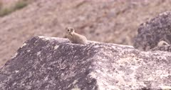 4K Pika up in Alpine chewing liken off rocks - SLOG2