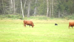4K Moose bull stands up from behind cow, shakes off rain, walks short distance and lies back down - SLOG2