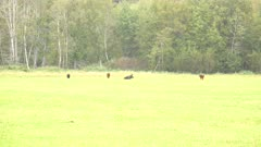4K Moose bull lying down amongst cows in the rain, zoom in - SLOG2 Not Colour Corrected
