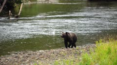 4K Grizzly mother & cub walking along river shore and eating fish, tighter frame, zoom out - SLOG2