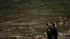 4K Grizzly mother & cub walking along river shore, tighter frame, tilt down/up - SLOG2