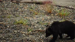 4K Grizzly mother & cub walking along river shore find salmon and eat it, tighter frame - SLOG2