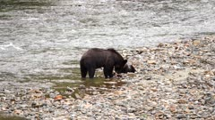 4K Grizzly mother & cub along river shore eating salmon, zoom out - SLOG2