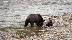 4K Grizzly mother & cub along river shore catching and eating salmon, cub catches after mother - SLOG2