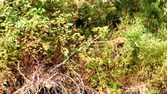 4K Brown Bear eating berries along river bank - SLOG2 Not Colour Corrected