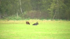 4K Moose bull lying in a grassy field in the rain, cow grazing beside - SLOG2 Not Colour Corrected