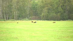 4K Moose bull lying in a grassy field in the rain, pan across cattle grazing - SLOG2 Not Colour Corrected