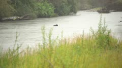 4K Grizzly Bear swims across river, disappears in log jam - SLOG2