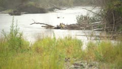 4K Grizzly Bear fishing around log jam - SLOG2