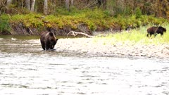 4K Grizzly Bears two catching and eating salmon on river shore - SHOT from in water - SLOG2