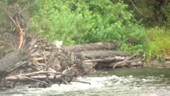 4K Grizzly Bear mother and cub eating salmon on log jam, retreating in to forest - SHOT from in water - SLOG2